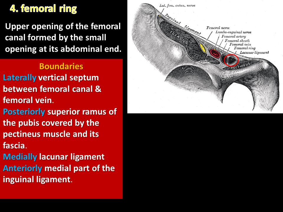 4. femoral ring Upper opening of the femoral canal formed by the small opening at its abdominal end.