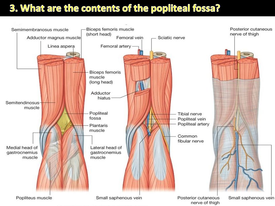 3. What are the contents of the popliteal fossa