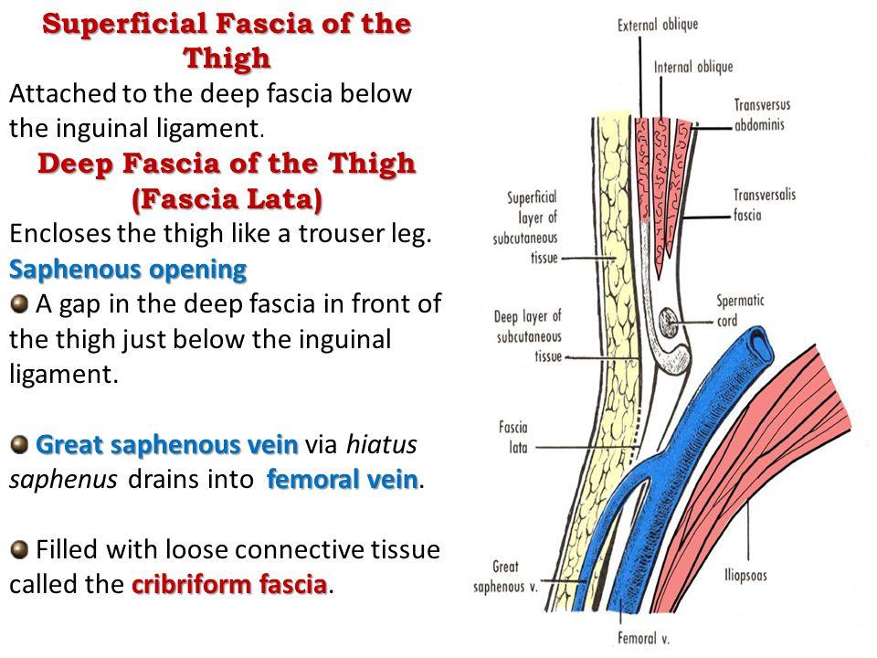 Superficial Fascia of the Thigh Deep Fascia of the Thigh (Fascia Lata)