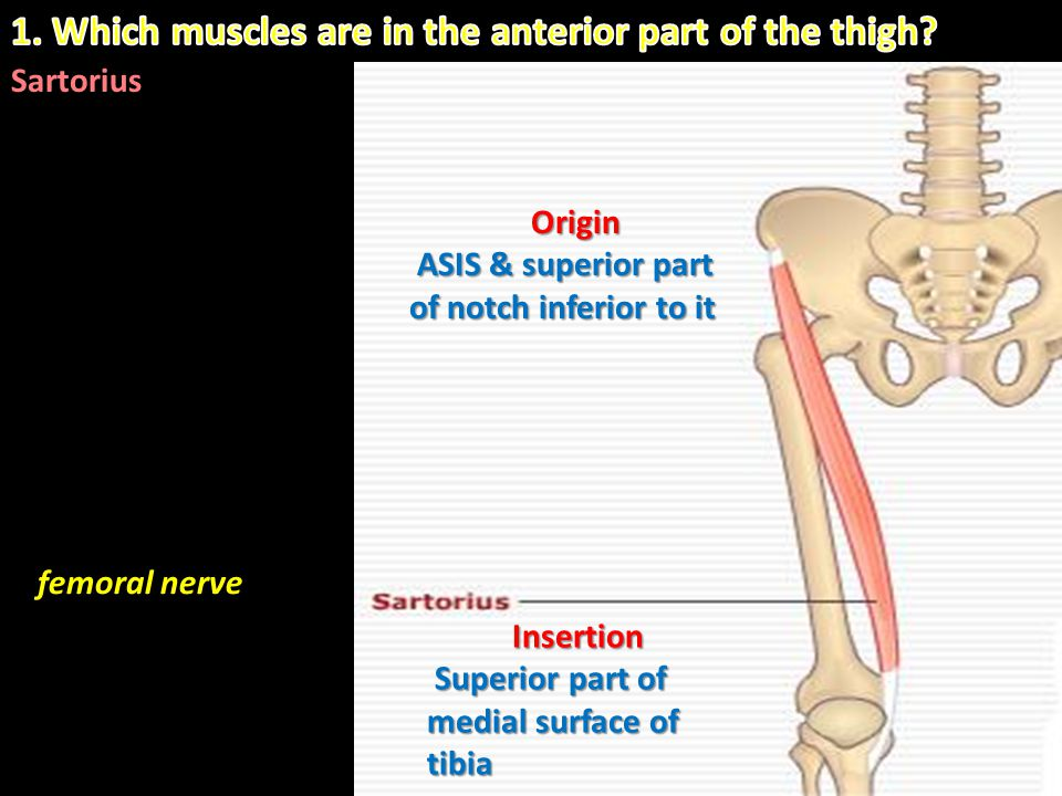 1. Which muscles are in the anterior part of the thigh