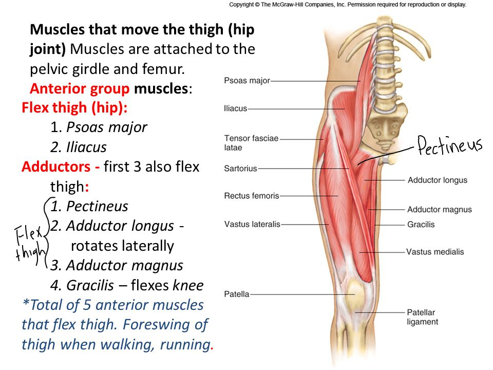 Muscles that move the thigh (hip joint) Muscles are attached to the pelvic girdle and femur.
