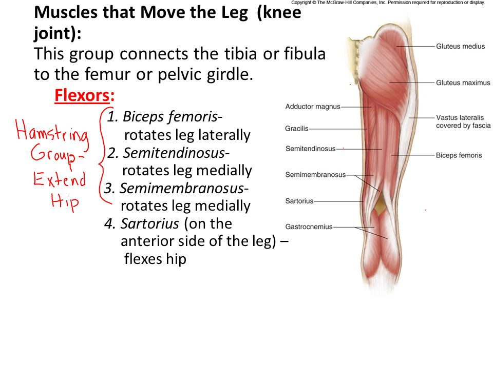 This group connects the tibia or fibula to the femur or pelvic girdle.