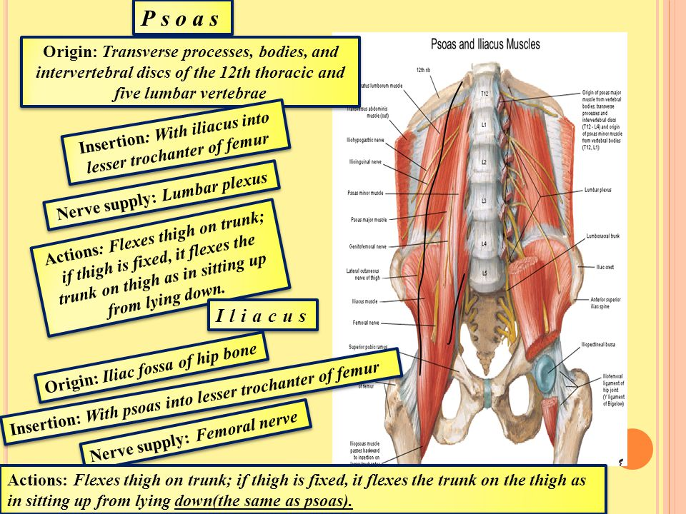 Psoas Origin: Transverse processes, bodies, and intervertebral discs of the 12th thoracic and five lumbar vertebrae.