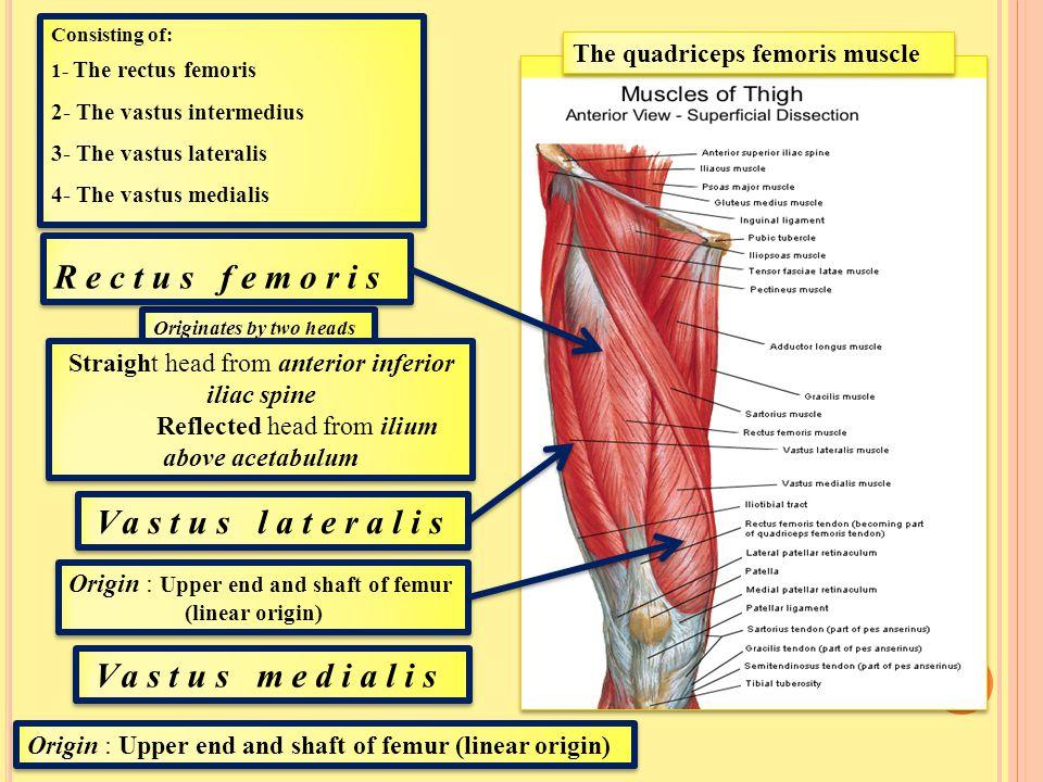 Rectus femoris Vastus lateralis Vastus medialis