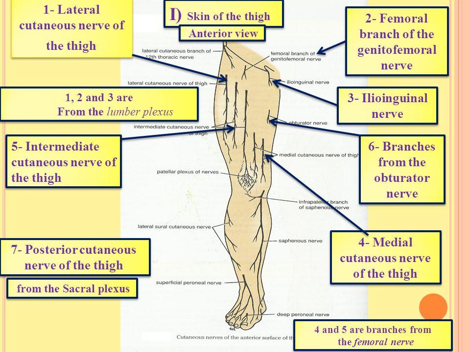 Ι) Skin of the thigh 1- Lateral cutaneous nerve of the thigh