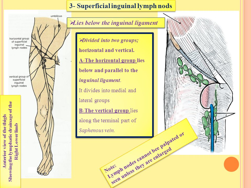 Showing the lymphatic drainage of the Anterior view of the thigh