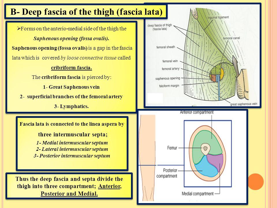B- Deep fascia of the thigh (fascia lata)