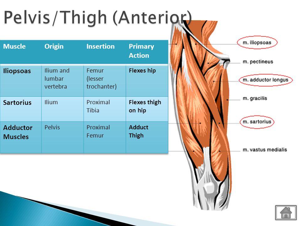Pelvis/Thigh (Anterior)