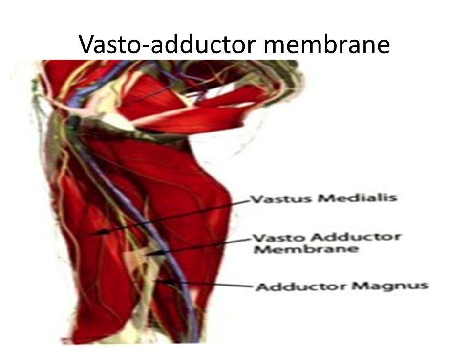 Vasto-adductor membrane