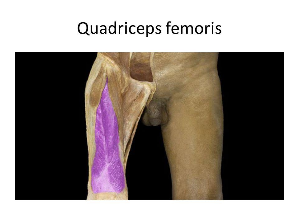 Quadriceps femoris Quadriceps femoris m.