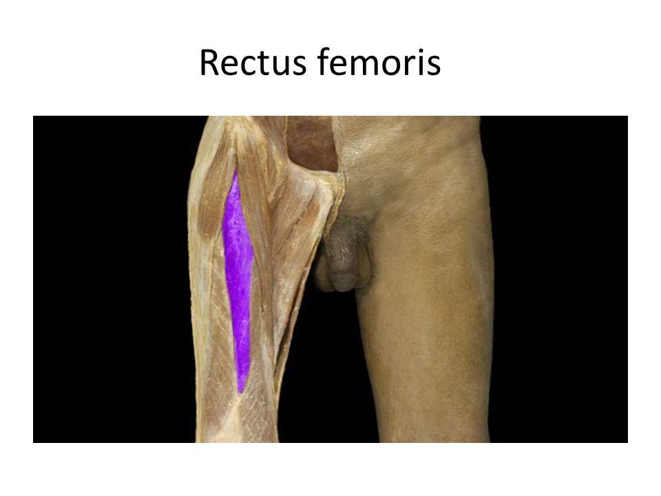 Rectus femoris Rectus femoris m. Action: • Extension of leg
