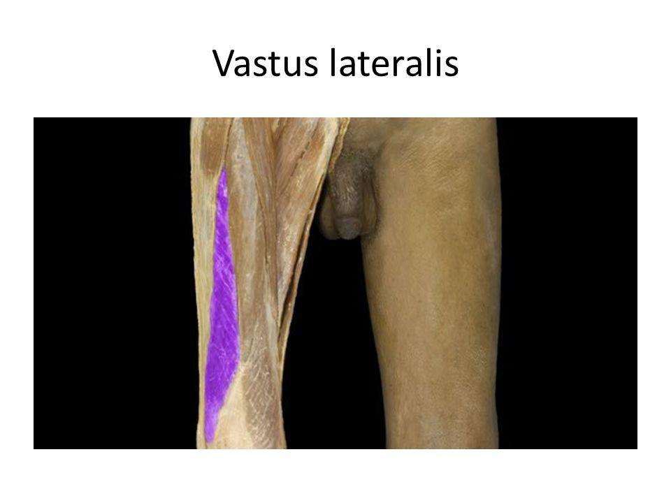 Vastus lateralis Vastus lateralis m. Action: • Extension of leg
