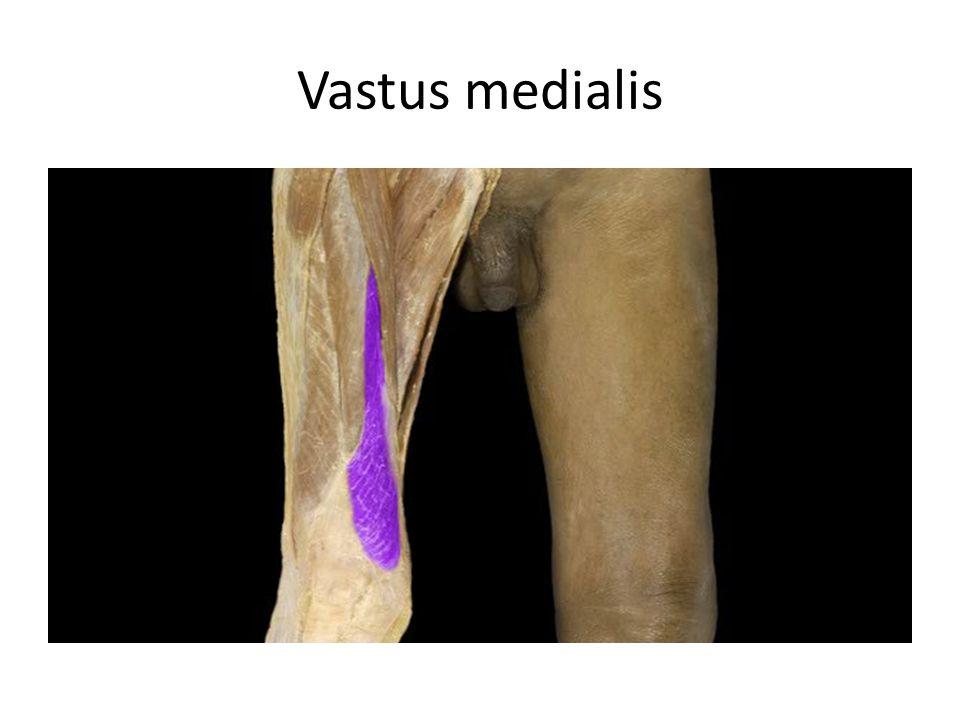 Vastus medialis Vastus medialis m. Action: • Extension of leg Origin: