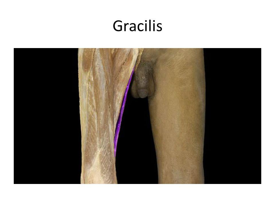 Gracilis Gracilis m. Action: • Adduction of thigh • Flexion of leg