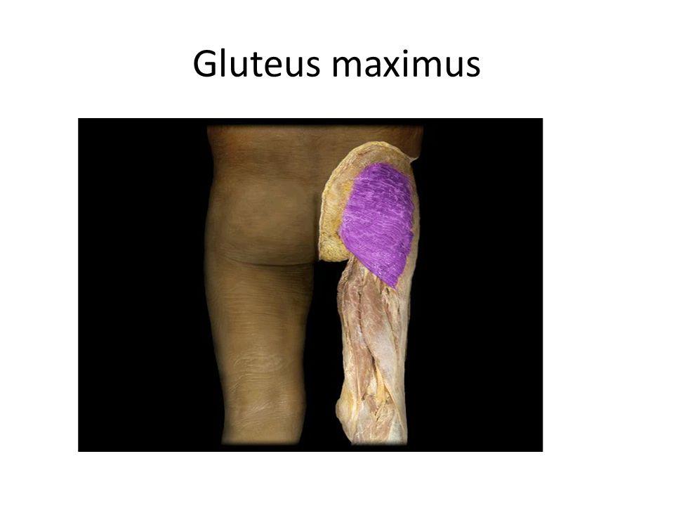 Gluteus maximus Gluteus maximus m.