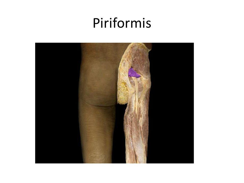 Piriformis Piriformis m. Action: • Lateral rotation of thigh Origin: