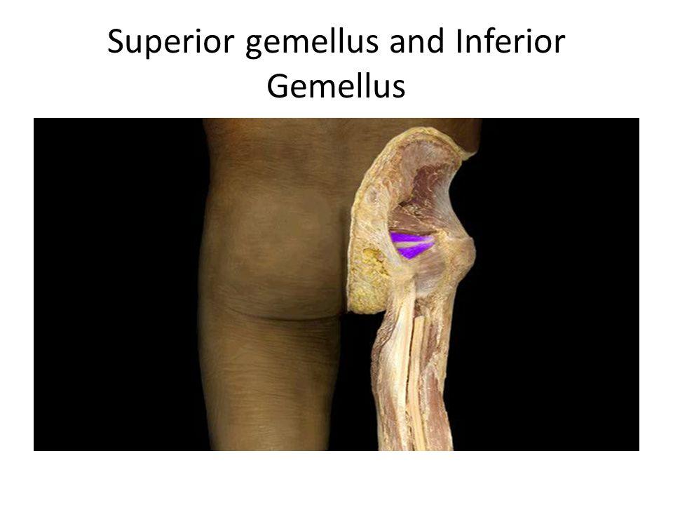 Superior gemellus and Inferior Gemellus