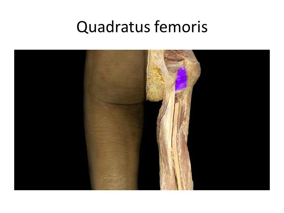 Quadratus femoris Quadratus femoris m. Action: