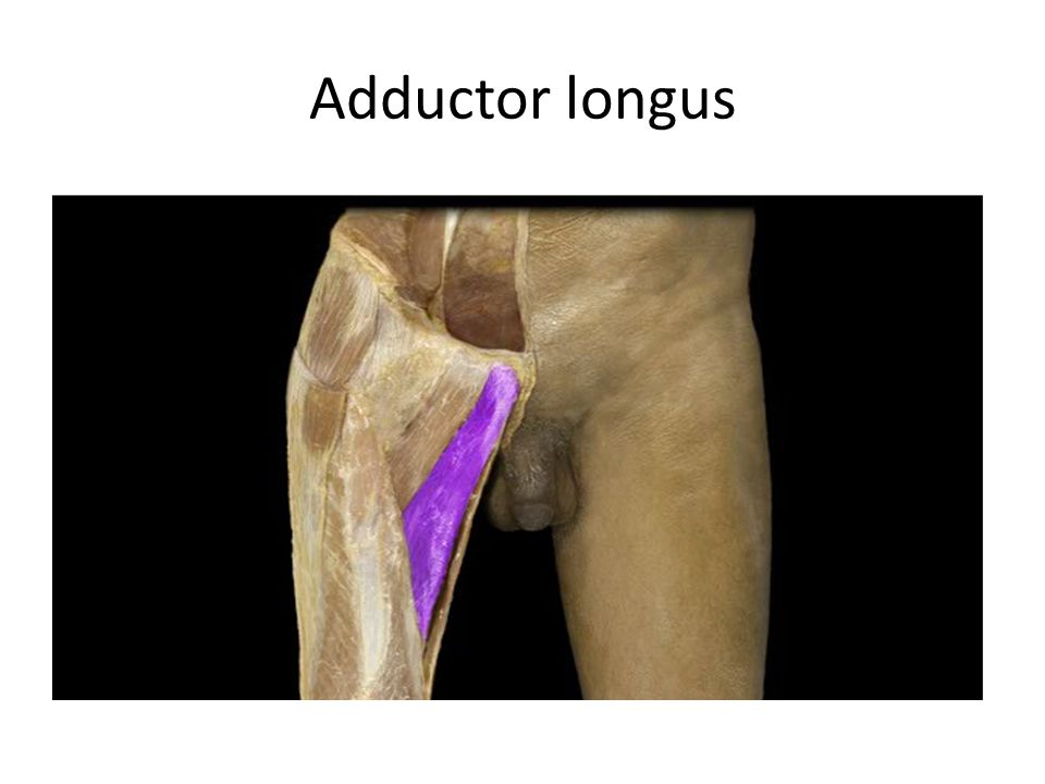 Adductor longus Adductor longus m. Action: • Adduction of thigh