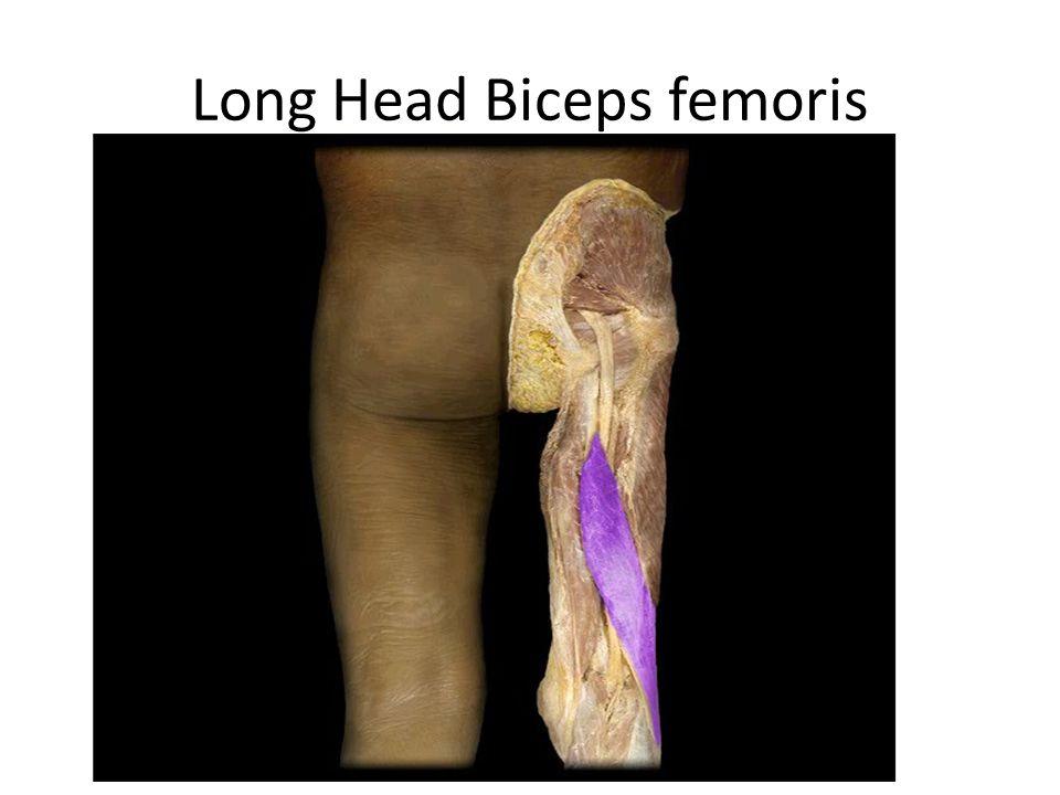 Long Head Biceps femoris