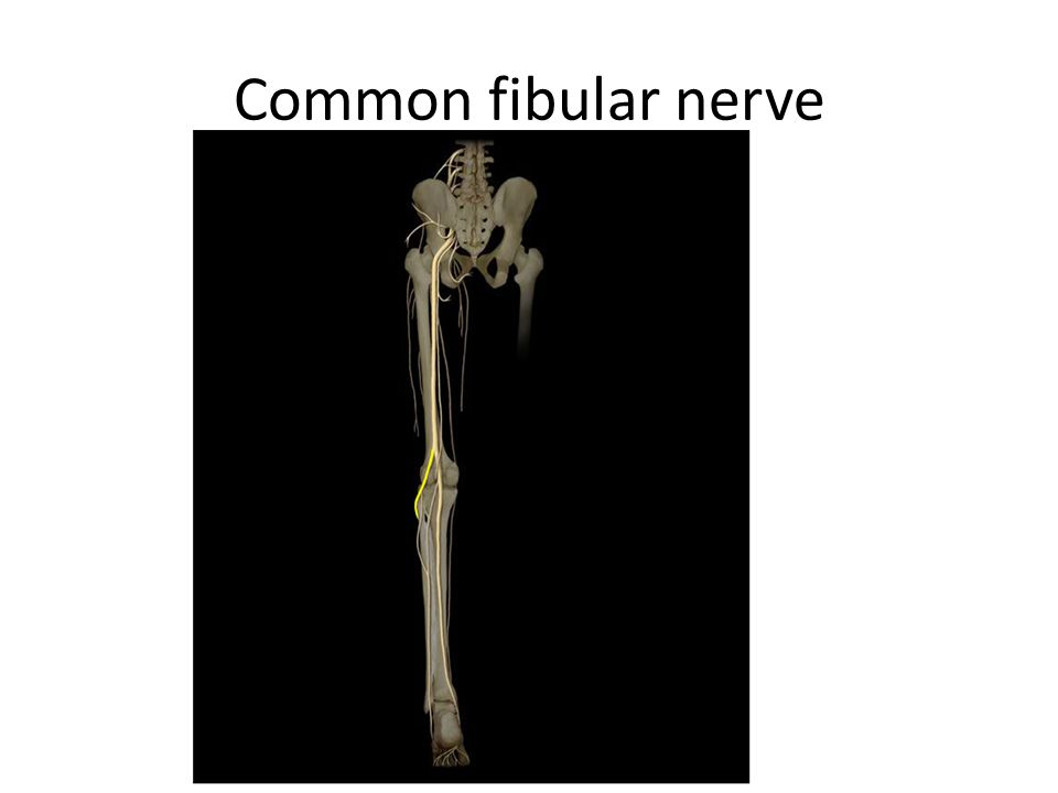 Common fibular nerve Common fibular n. Location: • Gluteal region