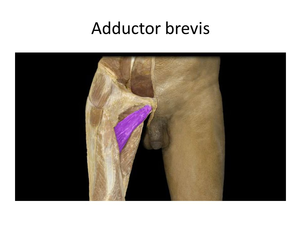 Adductor brevis Adductor brevis m. Action: • Adduction of thigh