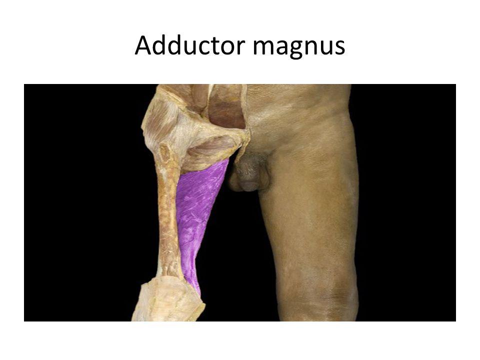Adductor magnus Adductor magnus m.