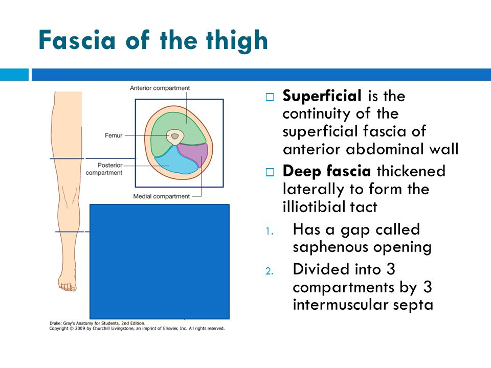 Fascia of the thigh Superficial is the continuity of the superficial fascia of anterior abdominal wall.
