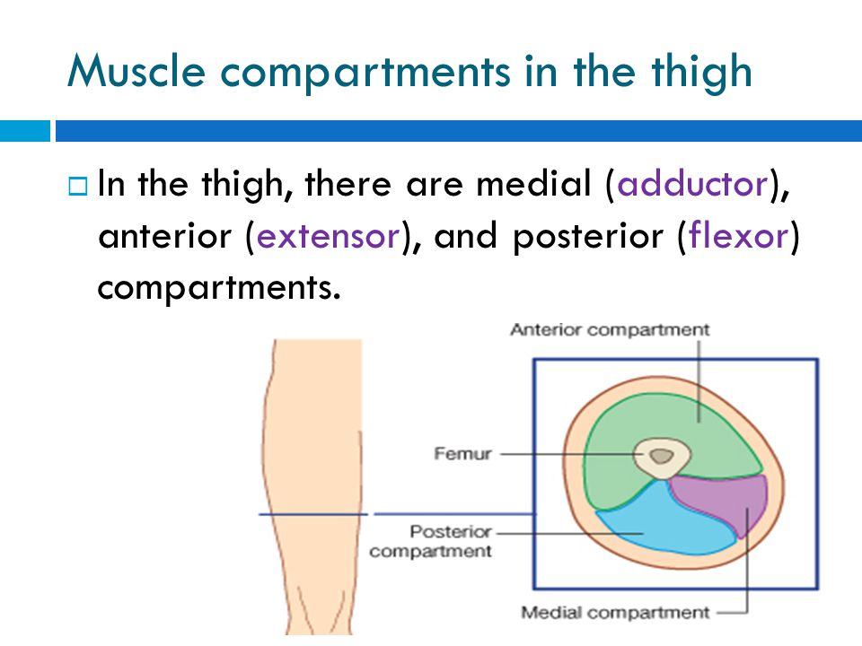 Muscle compartments in the thigh