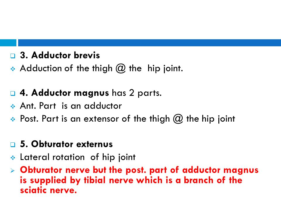 3. Adductor brevis Adduction of the thigh @ the hip joint. 4. Adductor magnus has 2 parts. Ant. Part is an adductor.