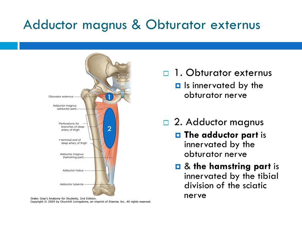 Adductor magnus & Obturator externus