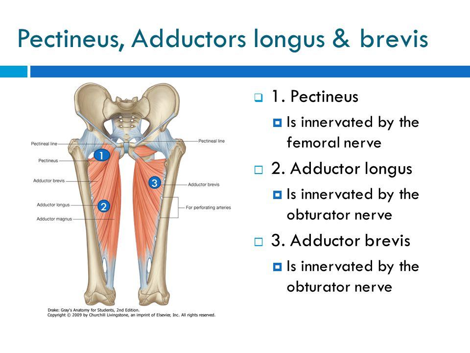 Pectineus, Adductors longus & brevis