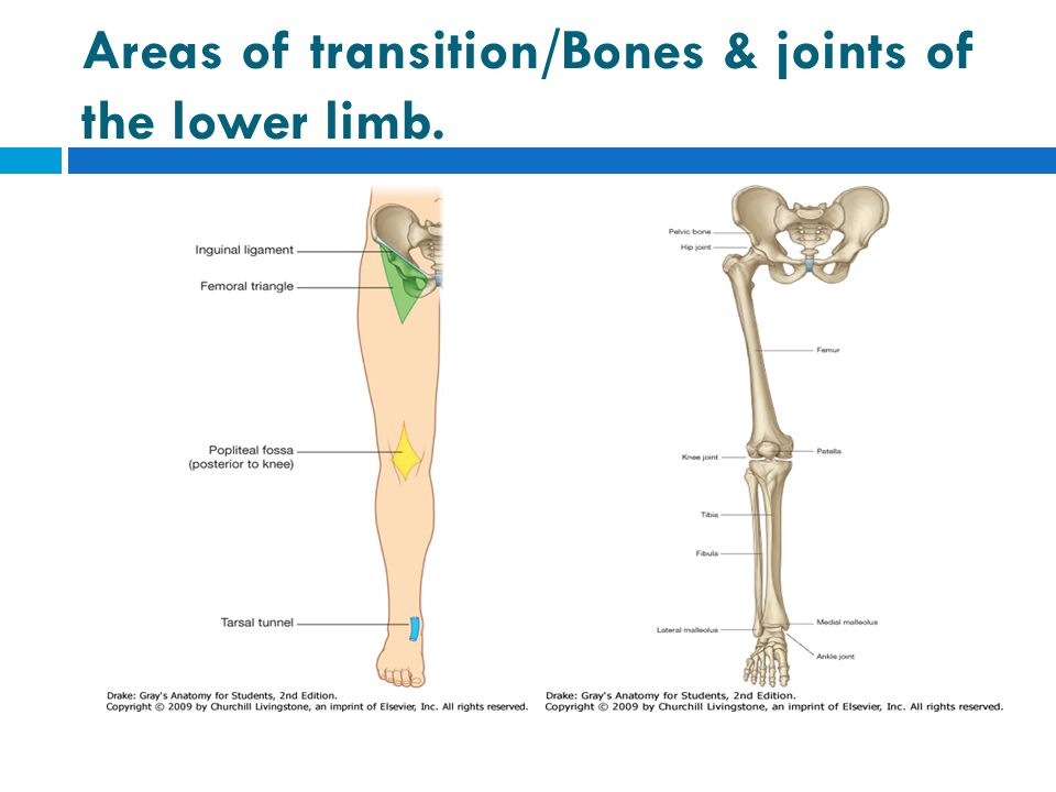 Areas of transition/Bones & joints of the lower limb.