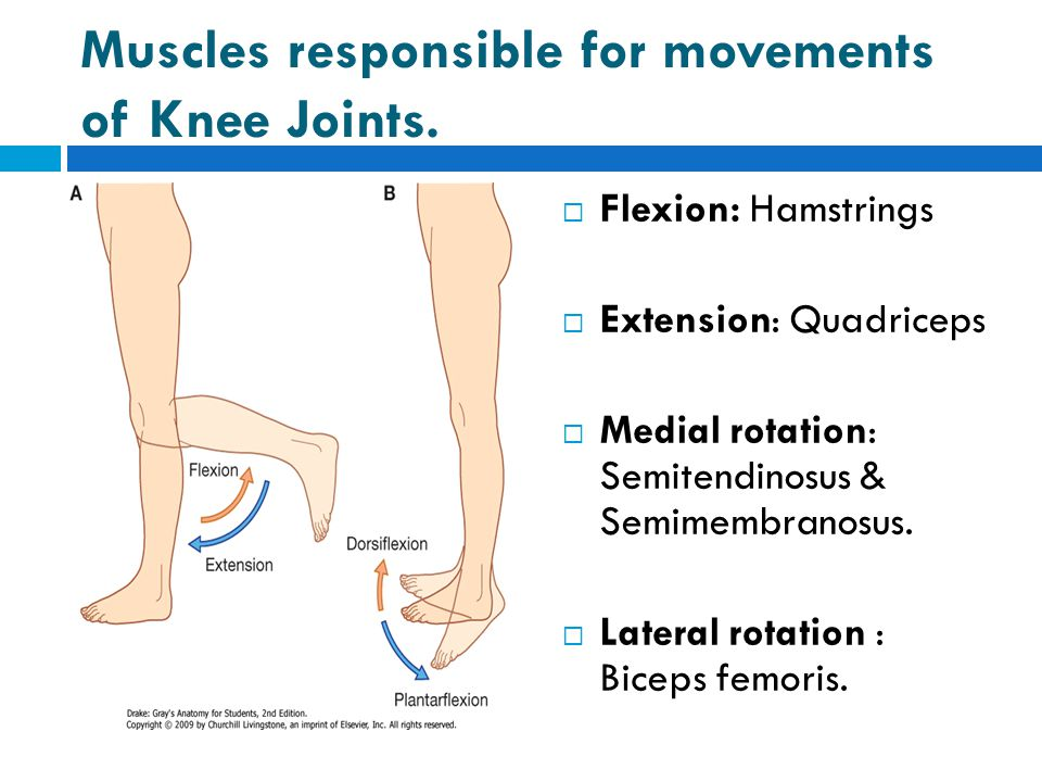 Muscles responsible for movements of Knee Joints.