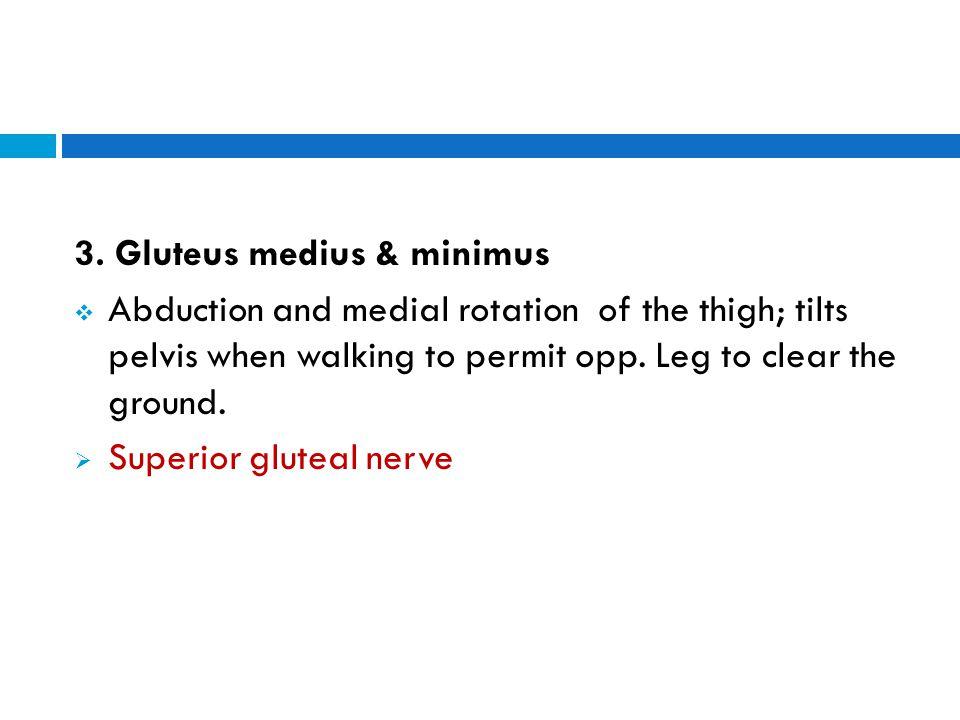 3. Gluteus medius & minimus