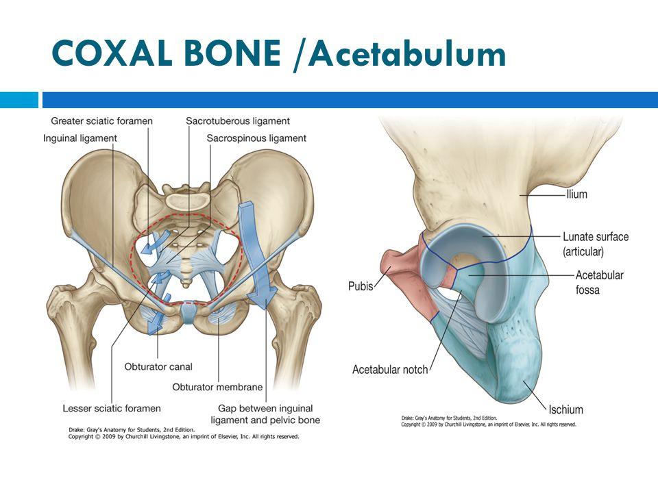 COXAL BONE /Acetabulum