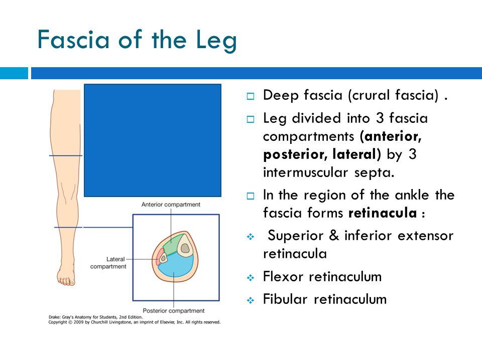 Fascia of the Leg Deep fascia (crural fascia) .