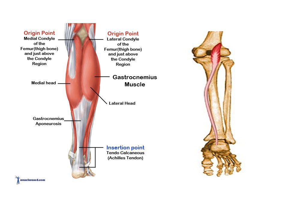 Beste Gastrocnemius Mediale Kopf Bilder - Anatomie und Physiologie ...