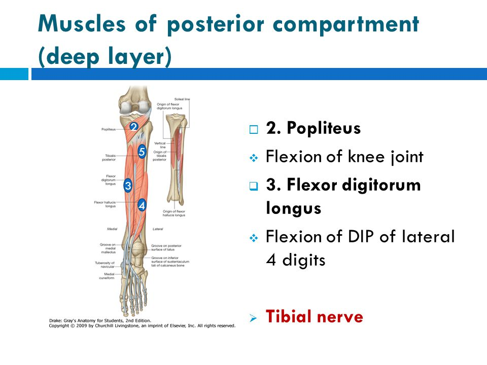 Muscles of posterior compartment (deep layer)