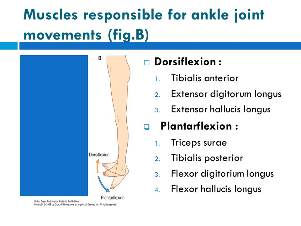 Muscles responsible for ankle joint movements (fig.B)