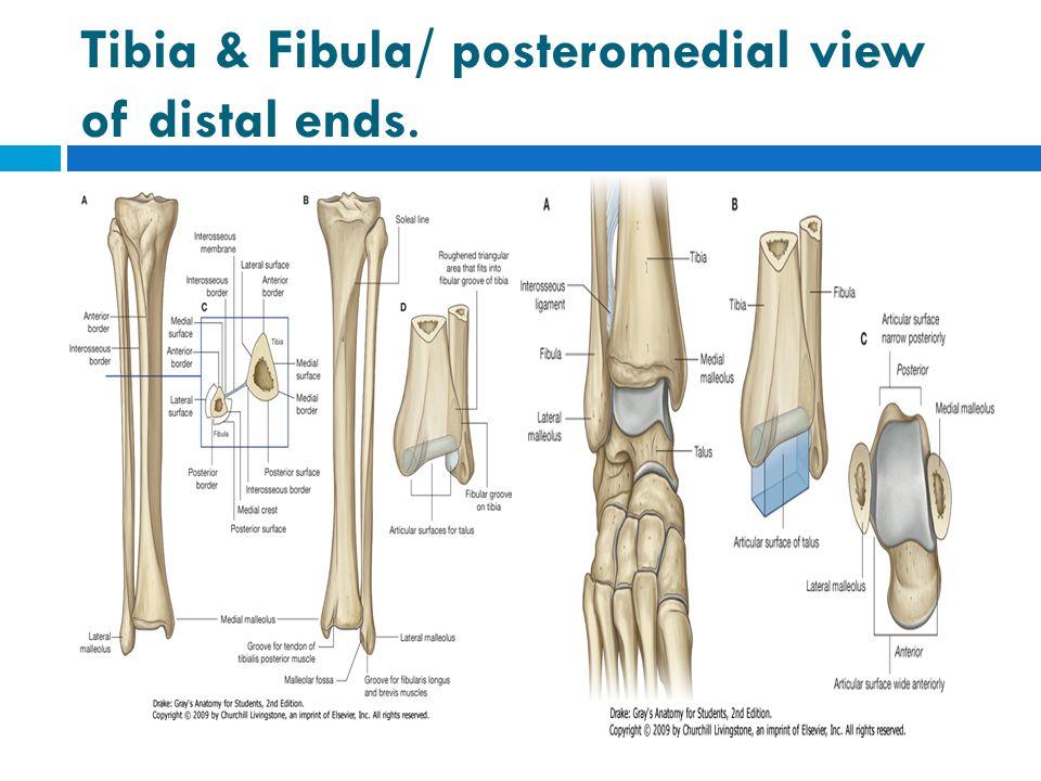 Tibia & Fibula/ posteromedial view of distal ends.