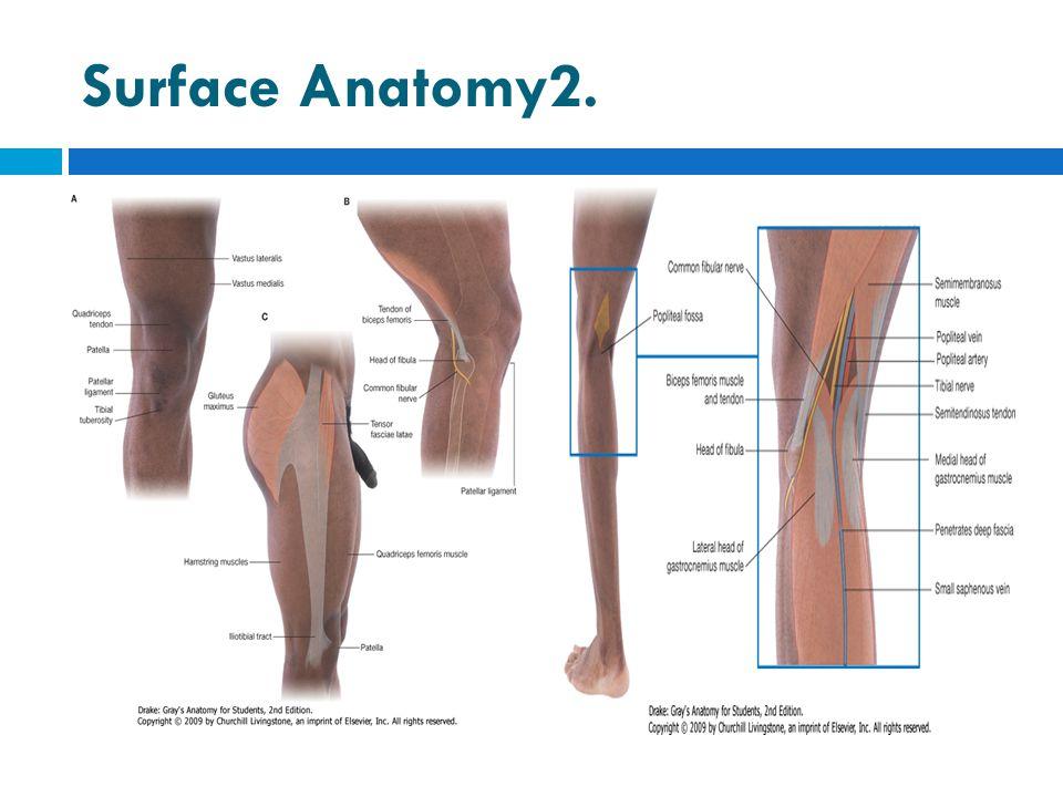 Surface Anatomy2.