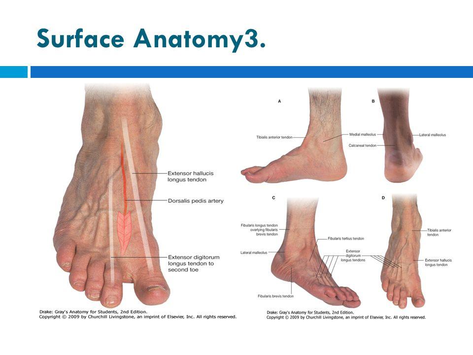Surface Anatomy3.