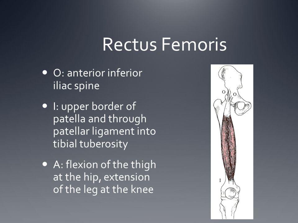 Rectus Femoris O: anterior inferior iliac spine