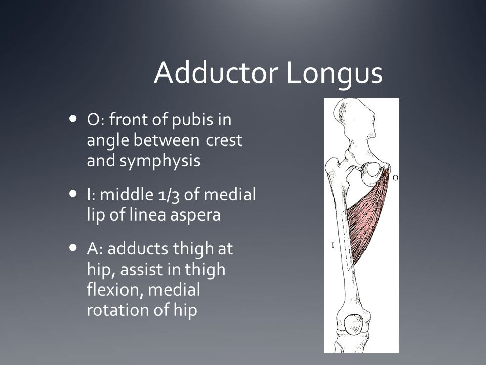 Adductor Longus O: front of pubis in angle between crest and symphysis