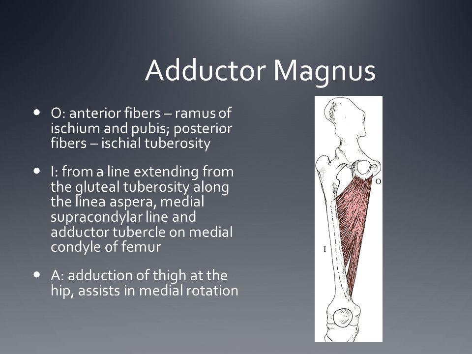 Adductor Magnus O: anterior fibers – ramus of ischium and pubis; posterior fibers – ischial tuberosity.