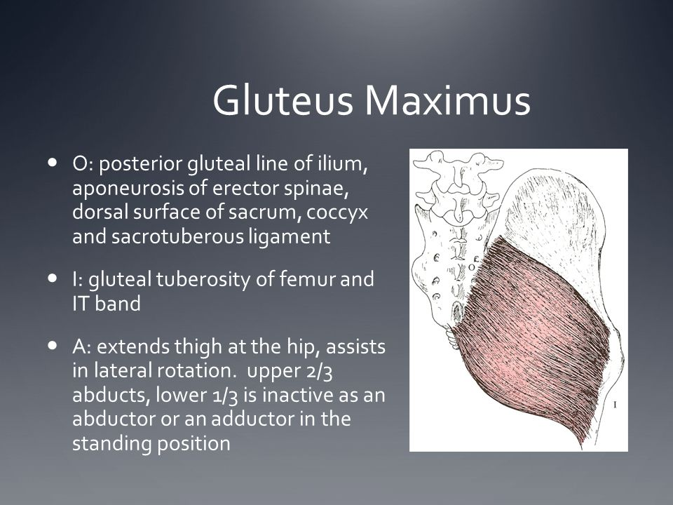 Gluteus Maximus O: posterior gluteal line of ilium, aponeurosis of erector spinae, dorsal surface of sacrum, coccyx and sacrotuberous ligament.