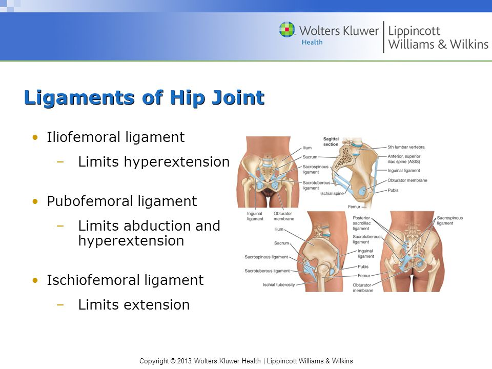Ligaments of Hip Joint Iliofemoral ligament Limits hyperextension