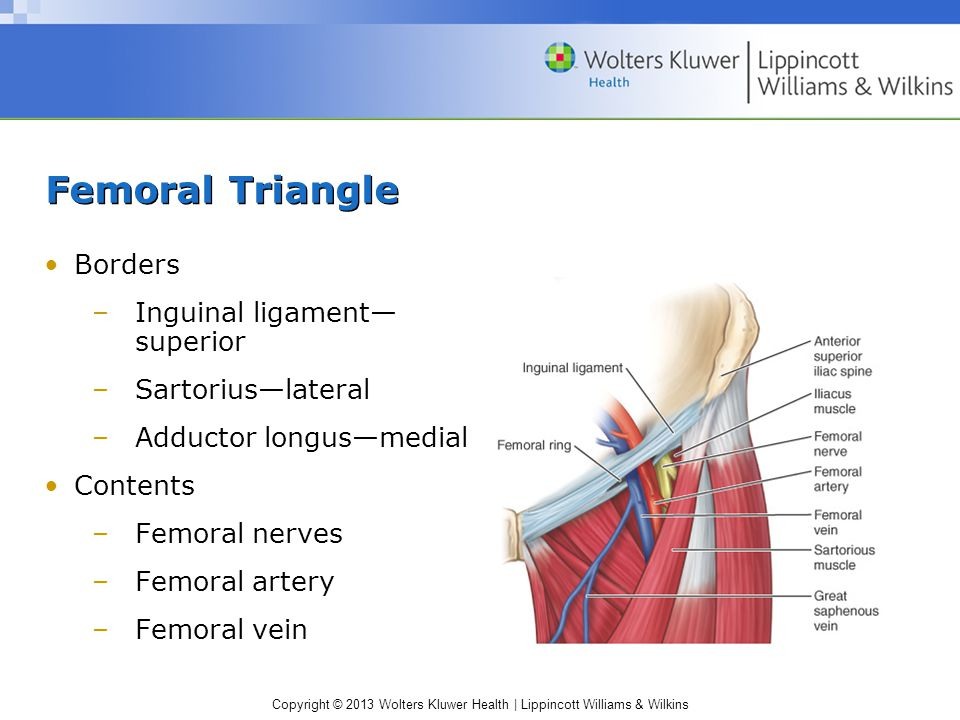 Femoral Triangle Borders Inguinal ligament— superior Sartorius—lateral