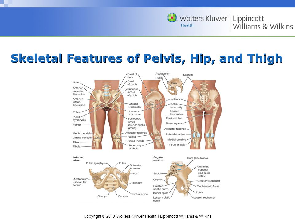 Skeletal Features of Pelvis, Hip, and Thigh